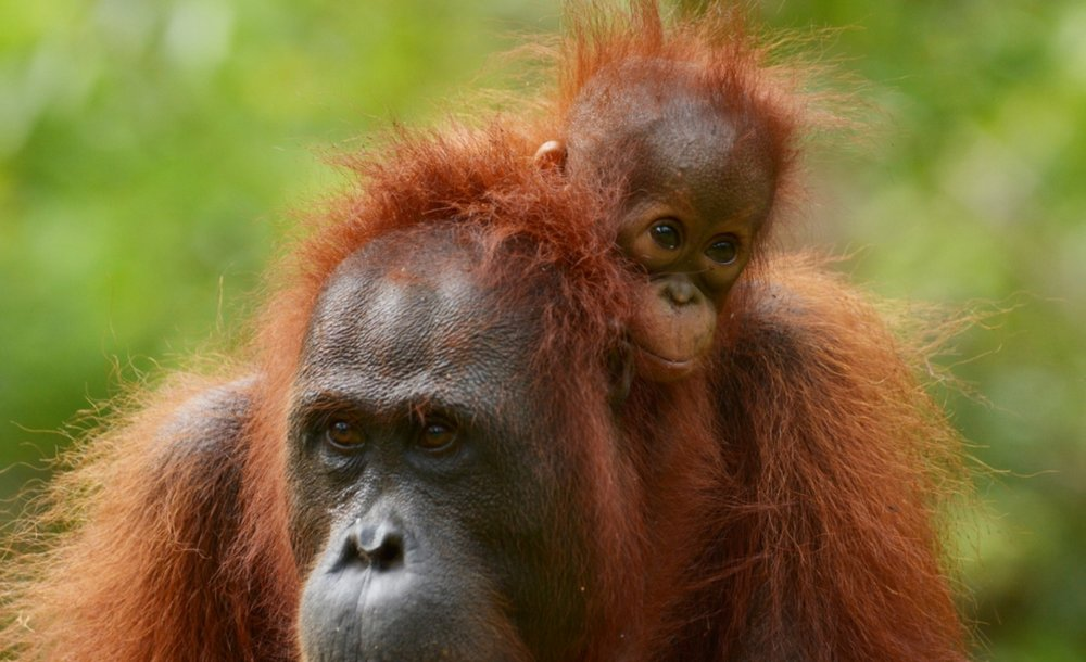 Critically endangered Bornean orangutan