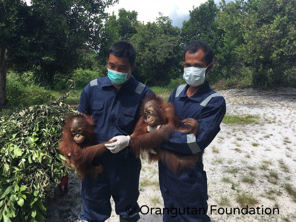 Orangutan Foundation staff with soft-release orangutans