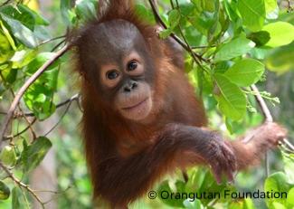 Orphaned orangutan Okto