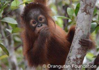 Orphaned orangutan Mona