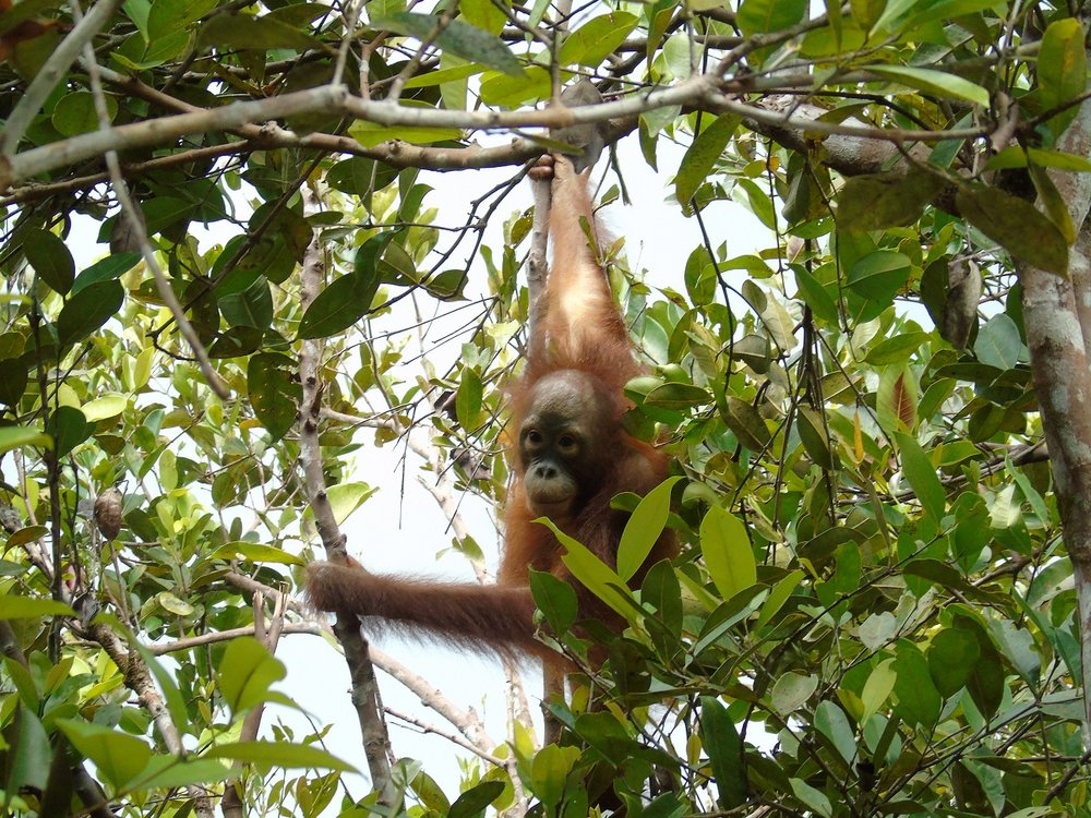 Nyunyu was kept as a pet for 2 years but she still has a wild spirit and is the most adventurous of the orangutans at Camp JL.