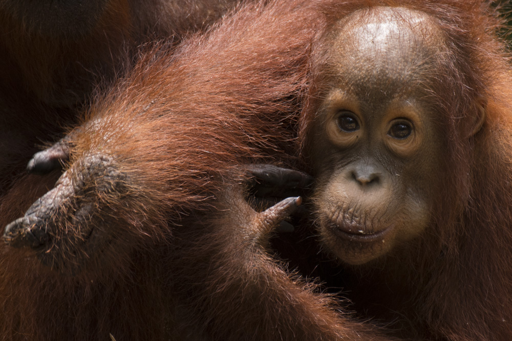 Bornean orangutan by Ian Wood.jpg