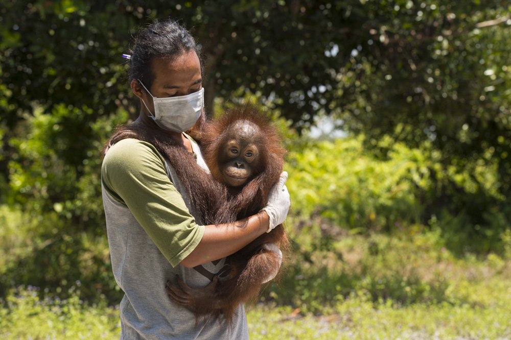 Our Indonesian vet and field assistants monitor the reintroduced orangutans in the Lamandau Wildlife Reserve and provide care for the young orangutans in our soft-release programme.