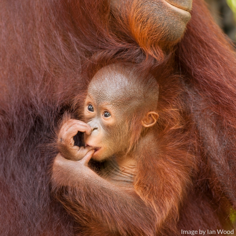 We are actively protecting two viable and healthy orangutan populations and the recent wild births of Happy born to Hola and Monti born to Max, in the Lamandau Wildlife Reserve, provides evidence for this.