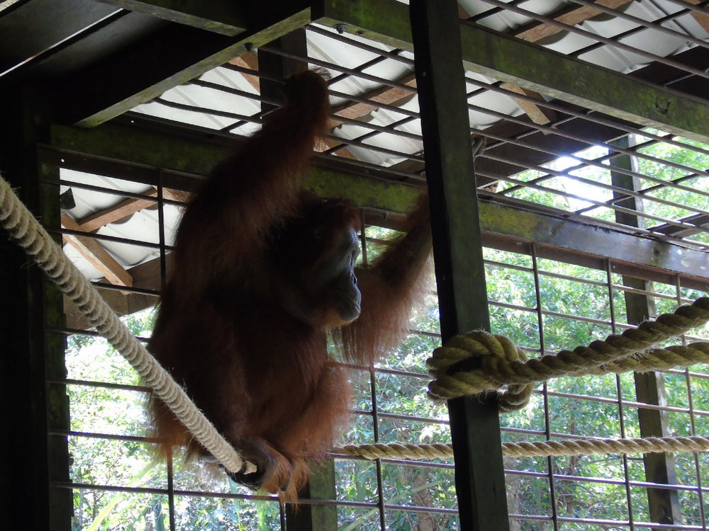 Sadly, blind orangutan Aan, can never live back in the wild due to injuries sustained from being shot at over 100 times. Our staff provide Aan with the best life possible, with ropes and browse in her enclosure.
