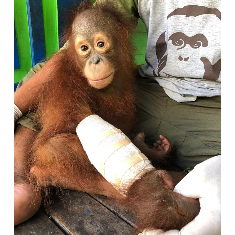 Young orphaned orangutan Adib fell and broke his arm