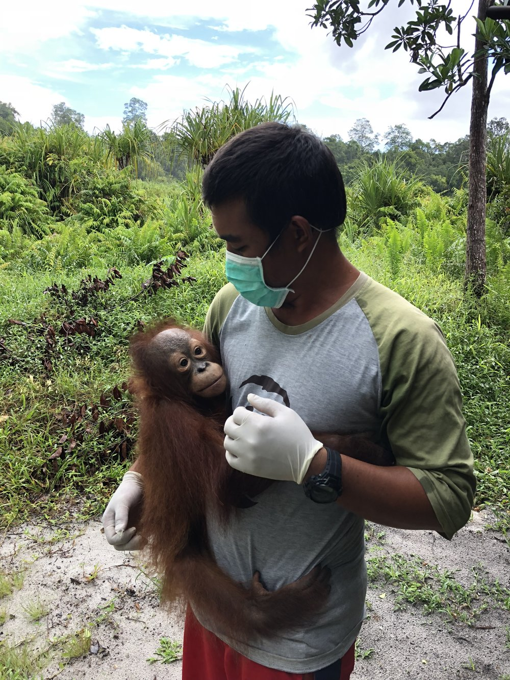 Two-year-old orangutan Adib's arm is healing well and he now has a strong grasp.