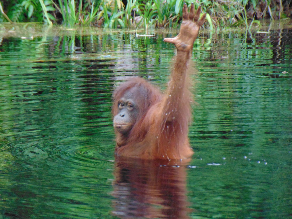 Orangutan Shifa joining in too.