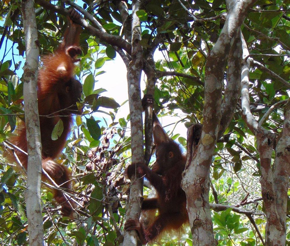 Young orphaned orangutans, Nyunyu (left) and Mona (right).