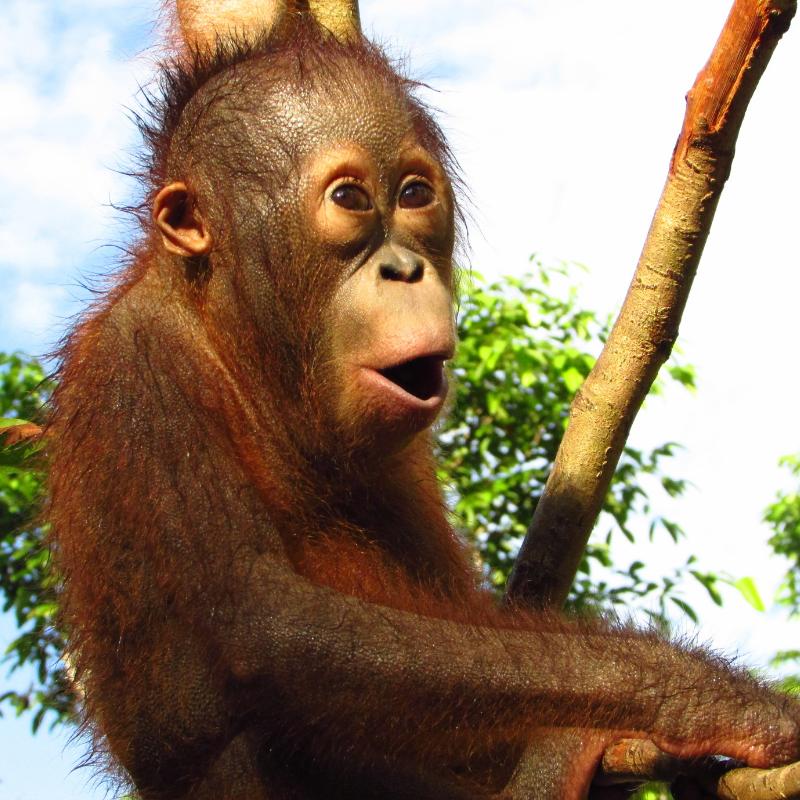 4. Lovable orphaned orangutan Endut. Orangutan Foundation