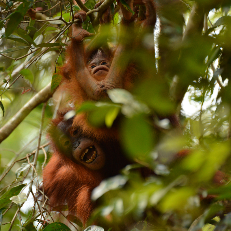 6. Two's trouble in the trees! Orangutan Foundation