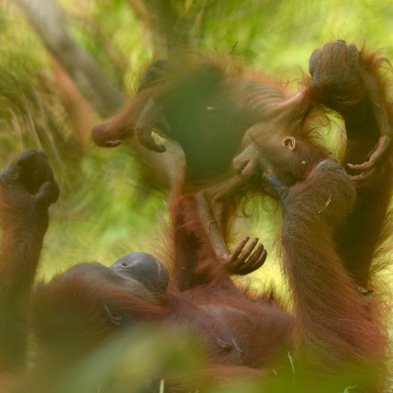 3. Rough and tumbles. Orangutan Foundation