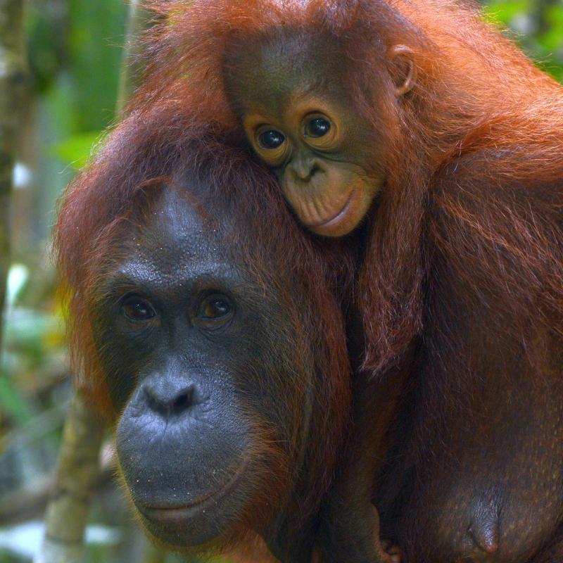 8. Big beautiful eyes. Orangutan Foundation
