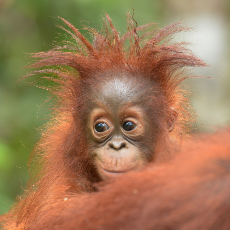 10. Cool hair! Orangutan Foundation