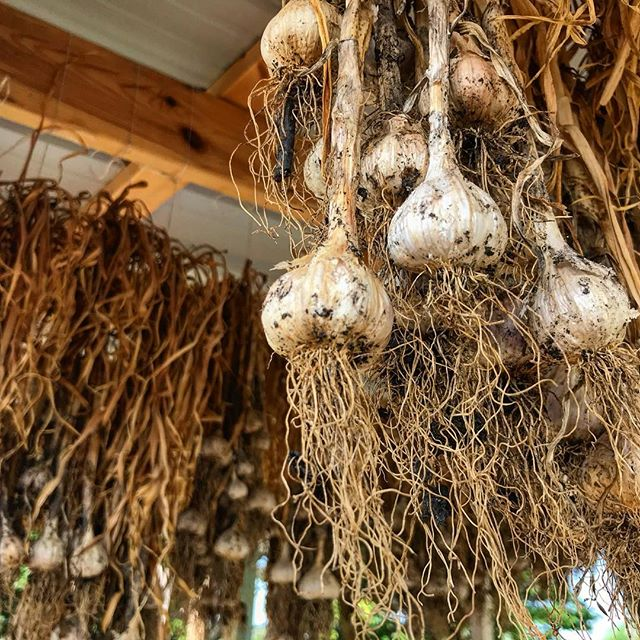 Let's talk about garlic. Garlic is basically like meats best friend. What most people don't know about garlic is that it requires a heck-ton of nurturing and sometimes a year of care from the farmer who grows it. From planting to drying to market, garlic's got a long road to travel to make it alongside our meat. So the next time you're perusing the farmers market and you see heads of garlic for sale, take my advice: Don't gasp at the price. Instead, remark at the amount of sun, water, patience and love that went into getting that hand into your hand! Just think, if you enjoy holding hands with garlic, it could be your best friend too. Most importantly, respect and learn from your local farmers - without people like @coriander_det we would be missing out on food, friends and our meat would be lonely too. #shoplocal #womenrunbusiness #friendswhofarmarethebest #newrestaurant #newbutcher #neighborhoodrestaurant #garlicandmeatsittinginatree