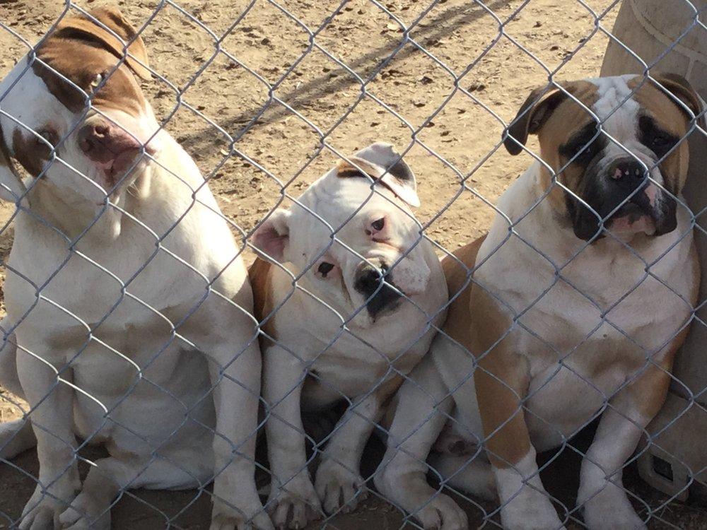American Bulldog -