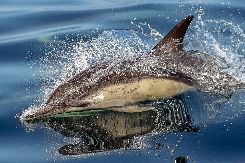 Short Beaked Dolphin off West Cork. Winning image Irish Biodiversity Photographer of the year 2018.