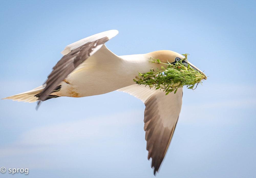 Gannet, Saltee Islands. Winning Image Irish Biodiversity Photographer of the year 2017.