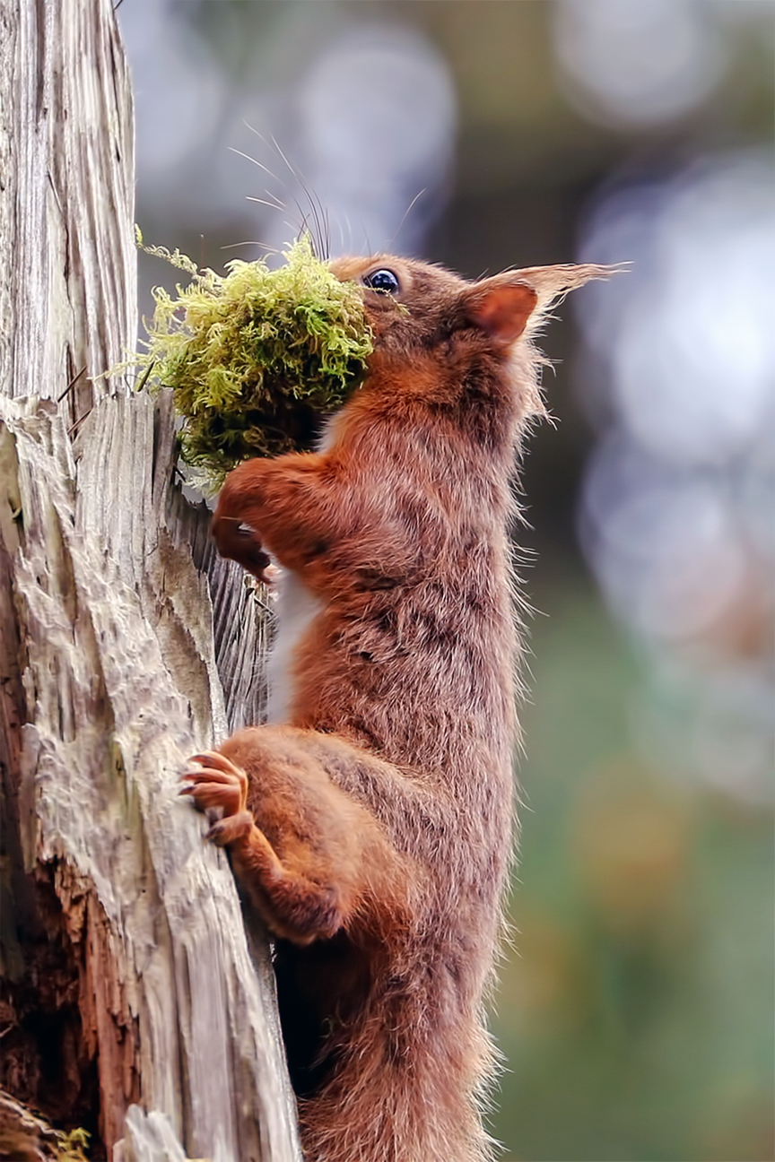 Red Squirrel bringing moss back to the nest. Raven Forest Wexford.