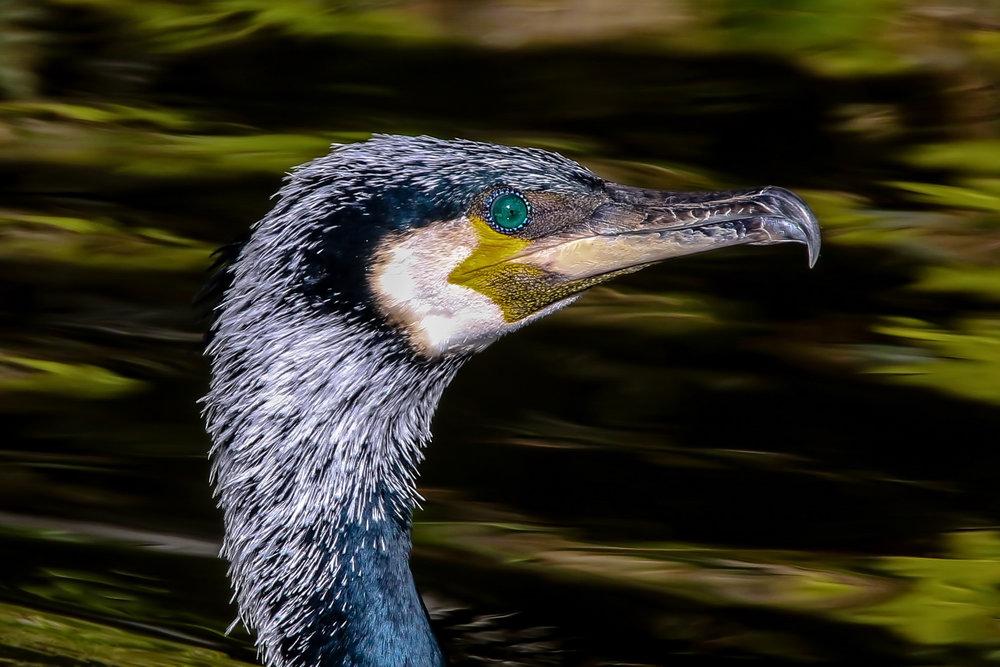 Cormorant, Breeding Plumage.