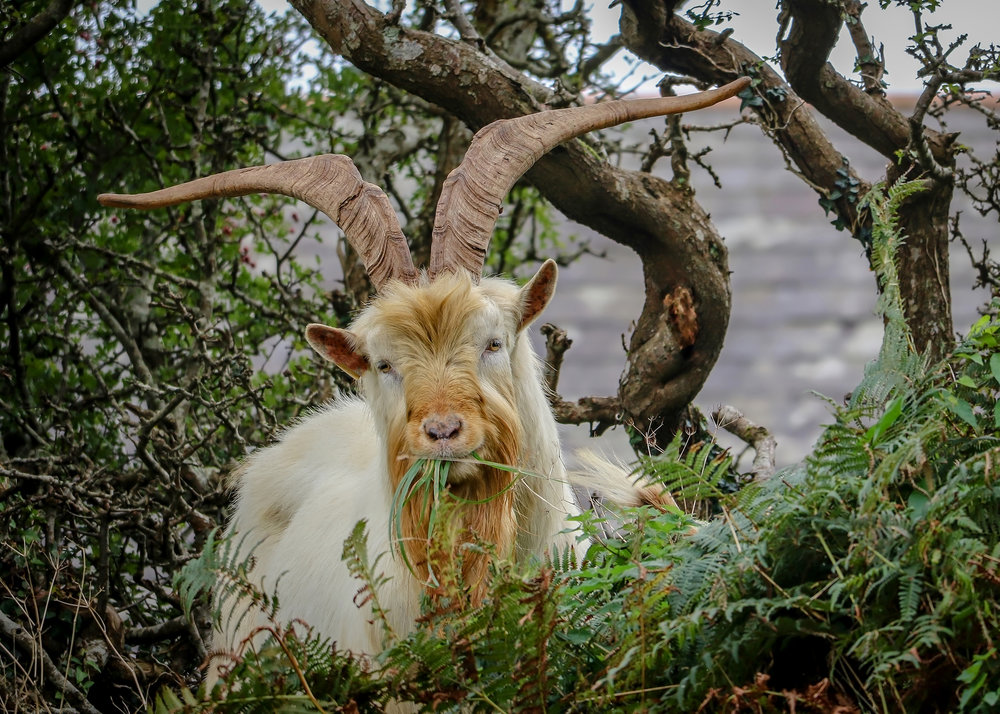Wild Goat, Passage East Waterford