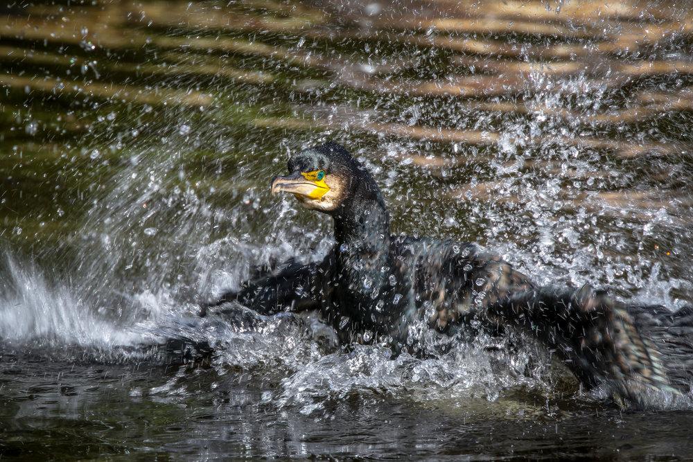 Cormorant, Dodder River