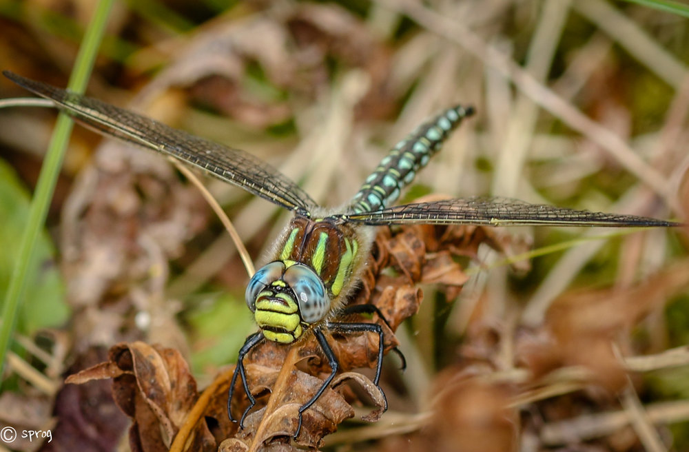 Migrant Hawker Dragonfly, Raven Forest Wexford