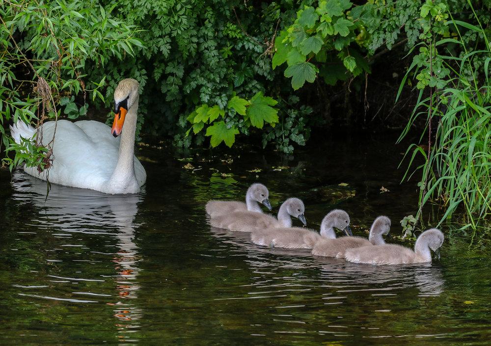 Mute Swans, Owencurra River, Midleton.