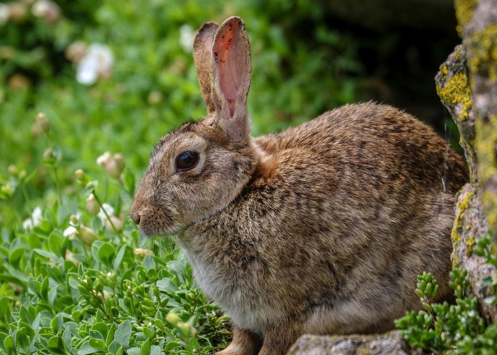 Rabbit, Saltee Islands.