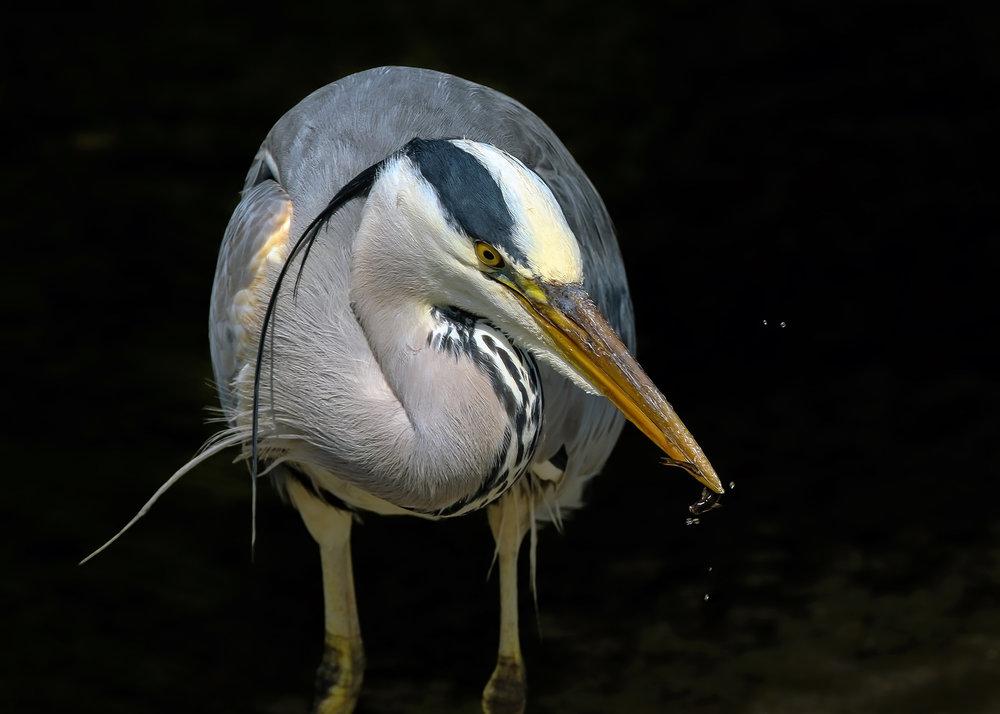 Heron, Dodder River.