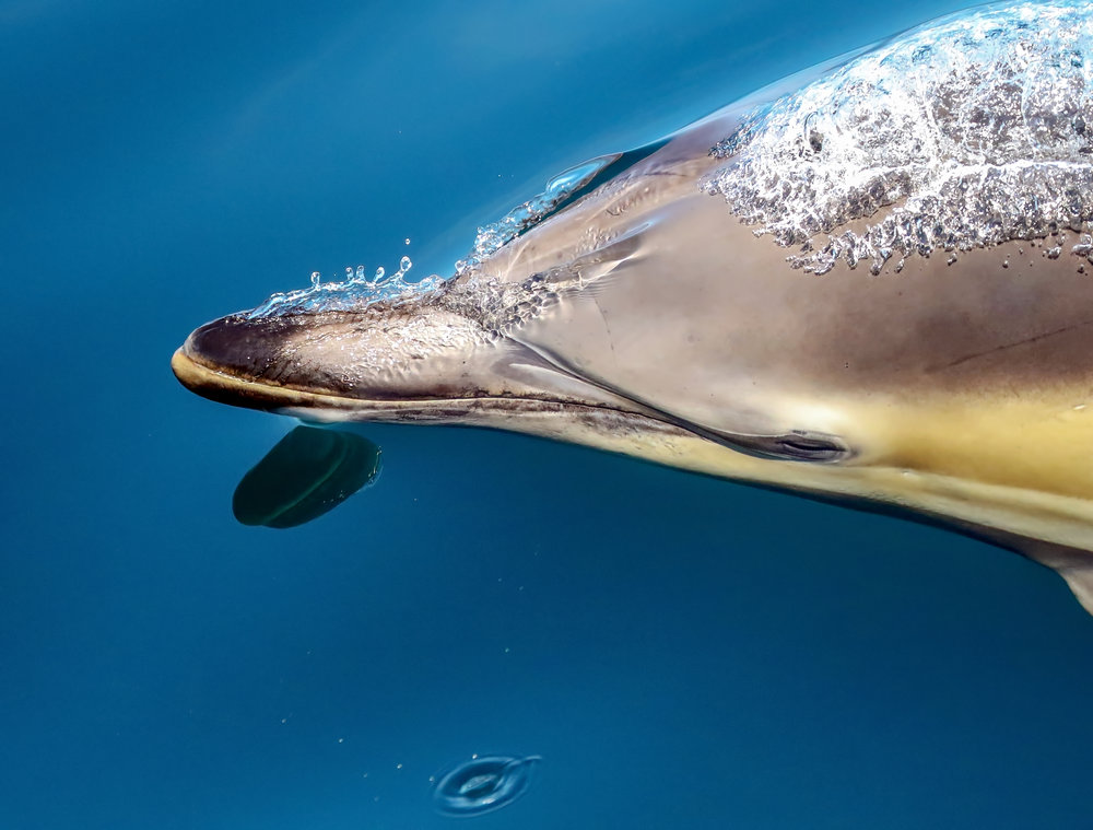 Short Beak Common Dolphin