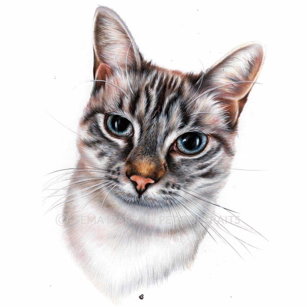 'Mimi' - SPA, 8.3 x 11.7 inches, 2018, Colour Pencil Cat Portrait by Sema Martin