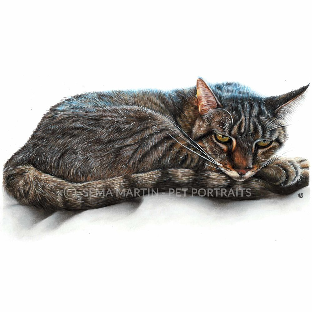 'Bruce' - USA, 8.3 x 11.7 inches, 2018, Colour Pencil Cat Portrait by Sema Martin