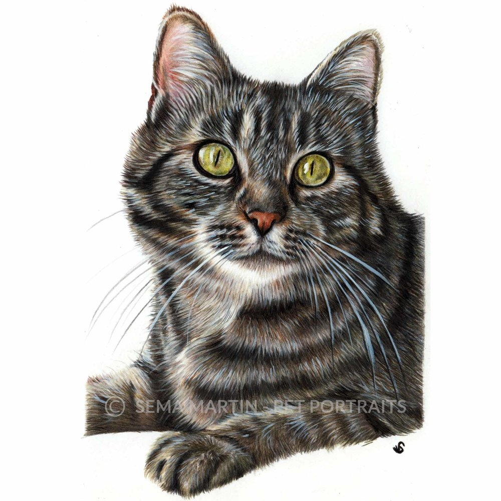'Belle' - AUS, 5.3 x 8.5 inches, 2018, Colour Pencil Cat Portrait by Sema Martin