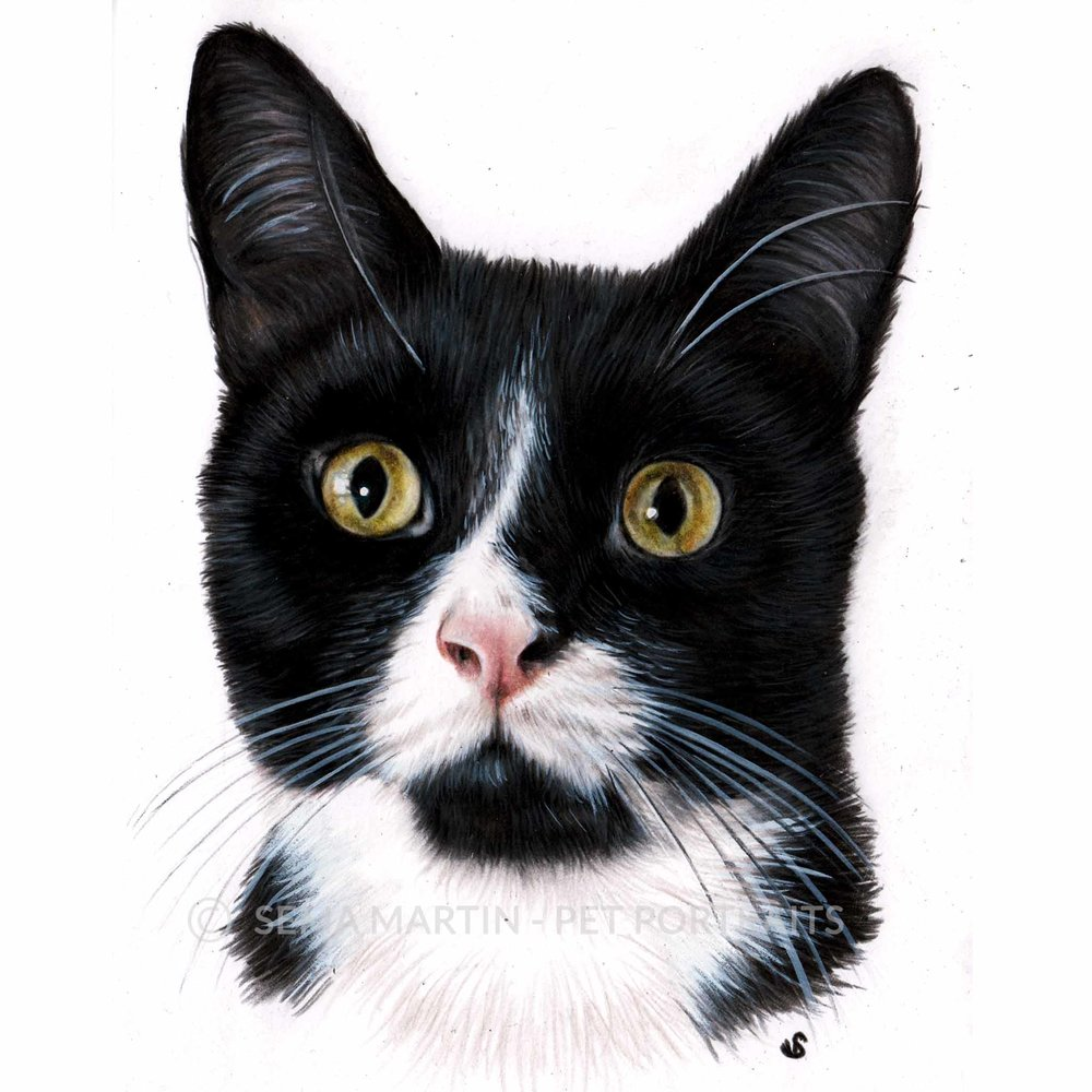 'Freddie' - UK, 5.8 x 8.3 inches, 2018, Colour Pencil Cat Portrait by Sema Martin