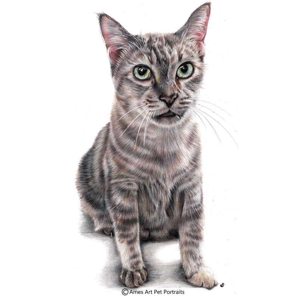 'Buddy' - Singapore, 11.7 x 16.5 in, 2017, Colour Pencil Cat Portrait by Sema Martin