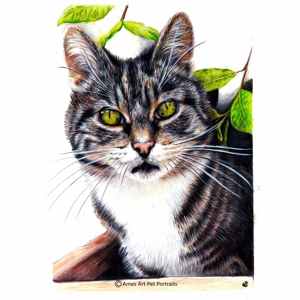 'Jess' - IRE, 8.5x 11.7 inches, 2017, Colour Pencil Cat Portrait by Sema Martin