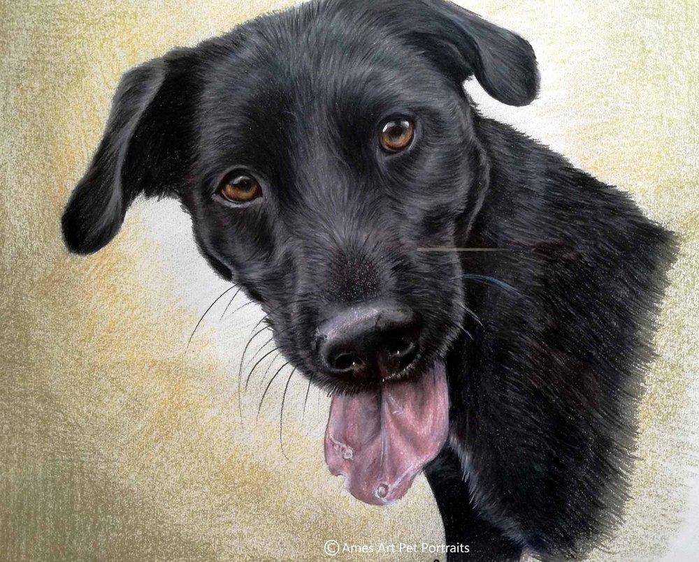 'Boris' Dog Portrait, Size: A3, Medium: Colour pencil
