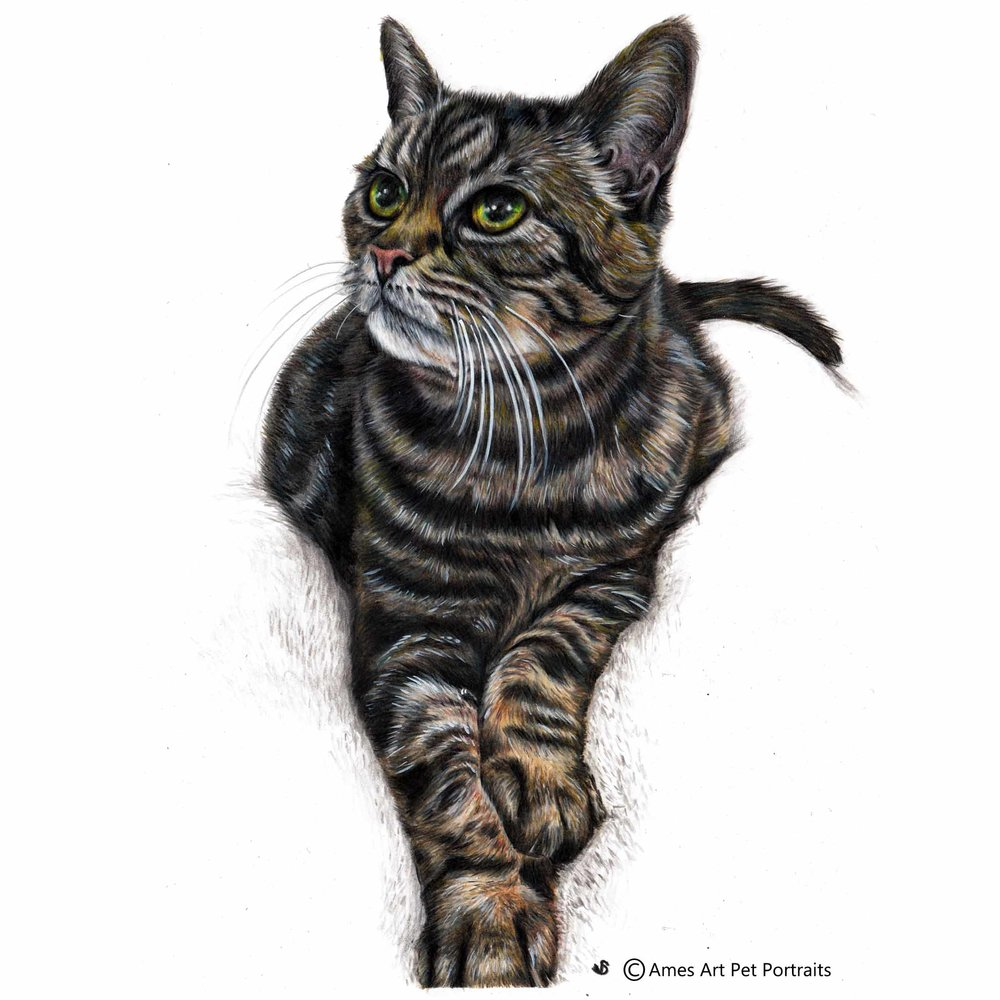 Tabitha Anne - UK,11.7 x 16.5 in, 2017, Colour Pencil Cat Portrait