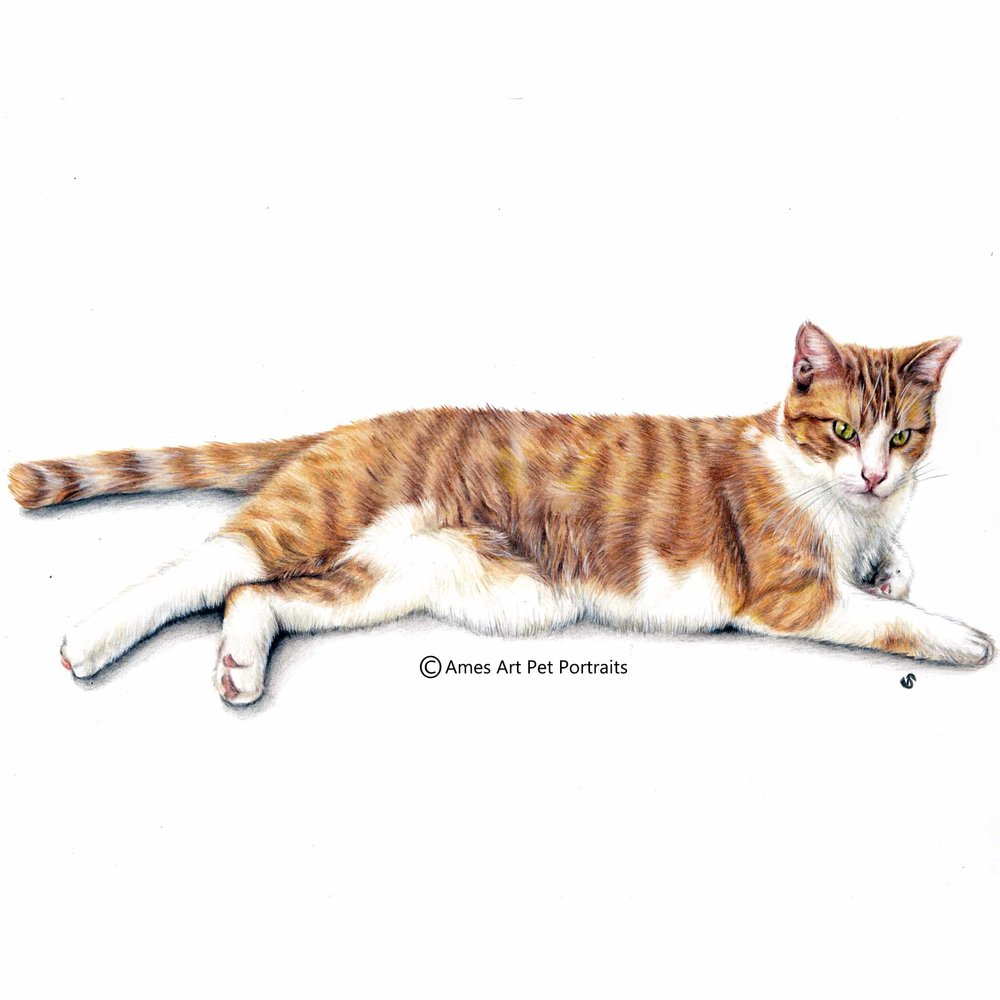 'Konani' - USA, 11.7 x 16.5 in, 2017, Color Pencil Cat Portrait