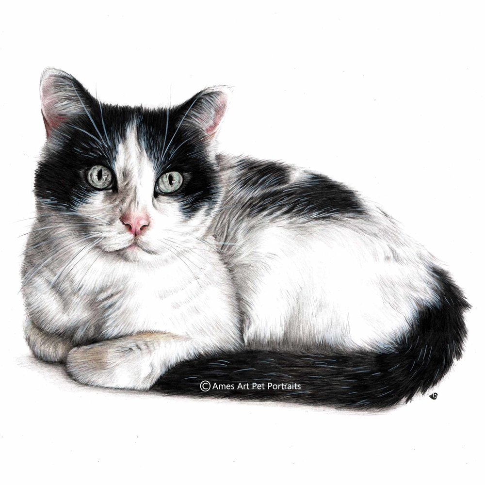 'Oreo' - USA, 11.7 x 16.5 inches, 2017, Color Pencil Cat Portrait