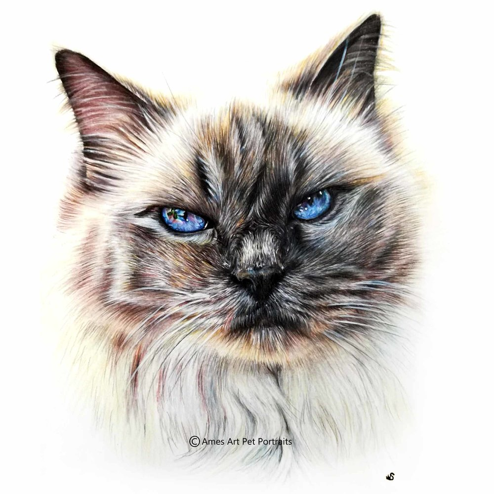 'Moet' - AUS, 11.7 x 8.3 inches, 2017, Colour Pencil Cat Portrait