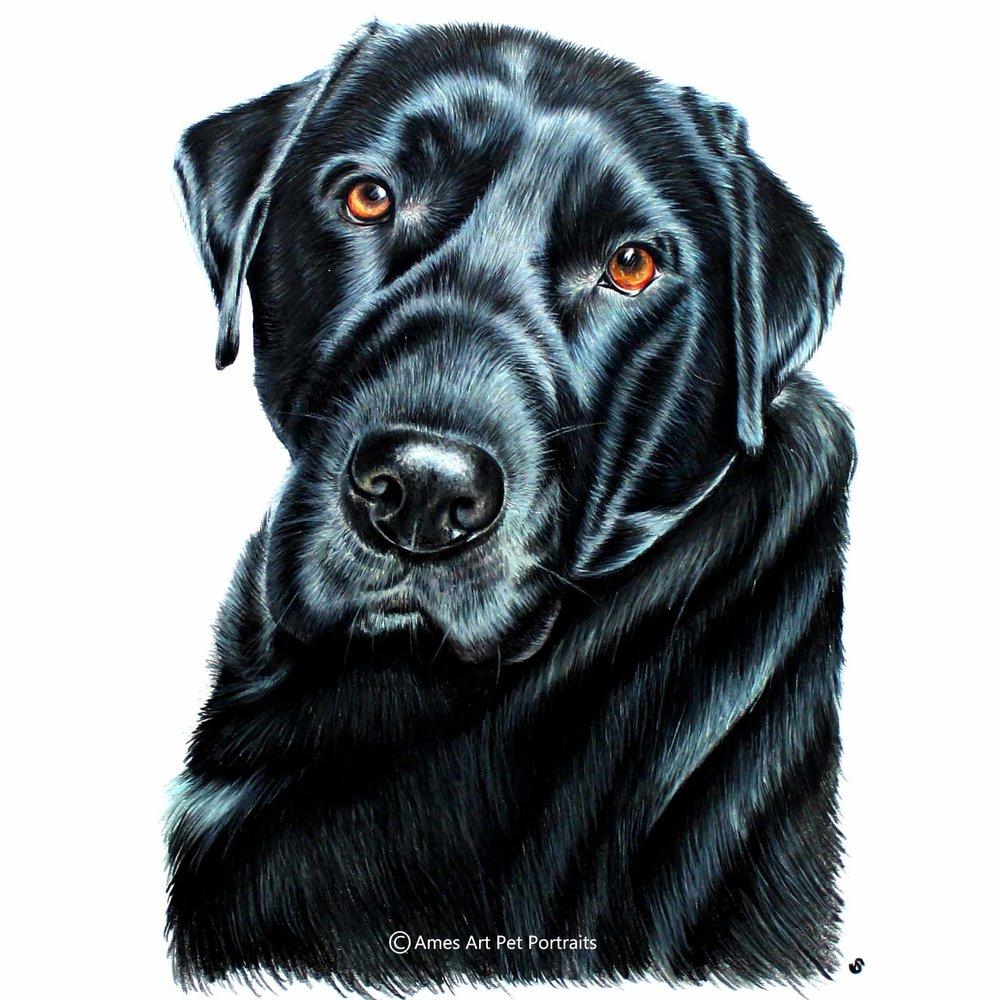Black Labrador colour pencil portrait in london by sema martin pet portrait artist