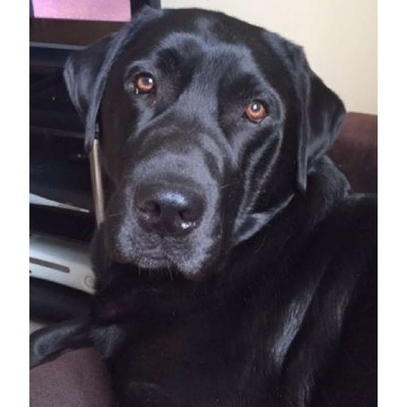 Black Labrador reference portrait in london by sema martin pet portrait artist