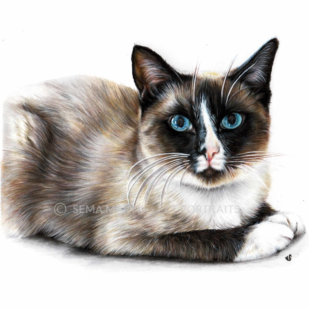 'Nallah' - USA, 8.3 x 11.7 inches, 2018, colour pencil snowshoe cat portrait