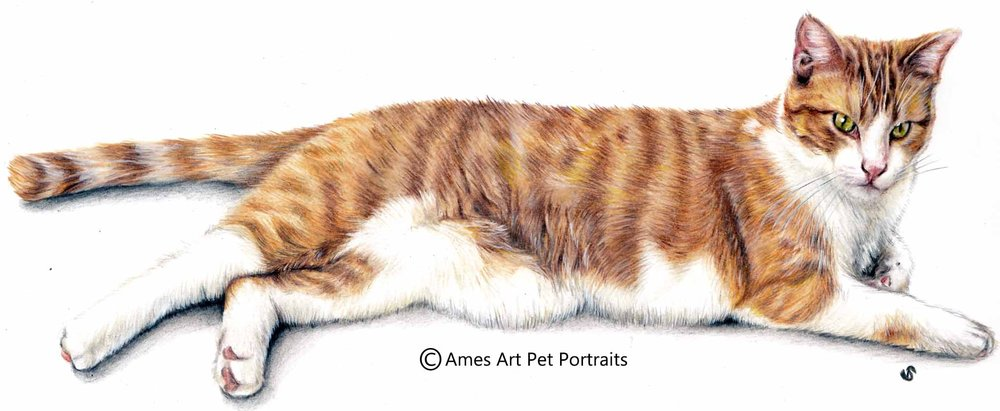 color pencil cat portrait of ginger tabby cat by sema martin in utah usa