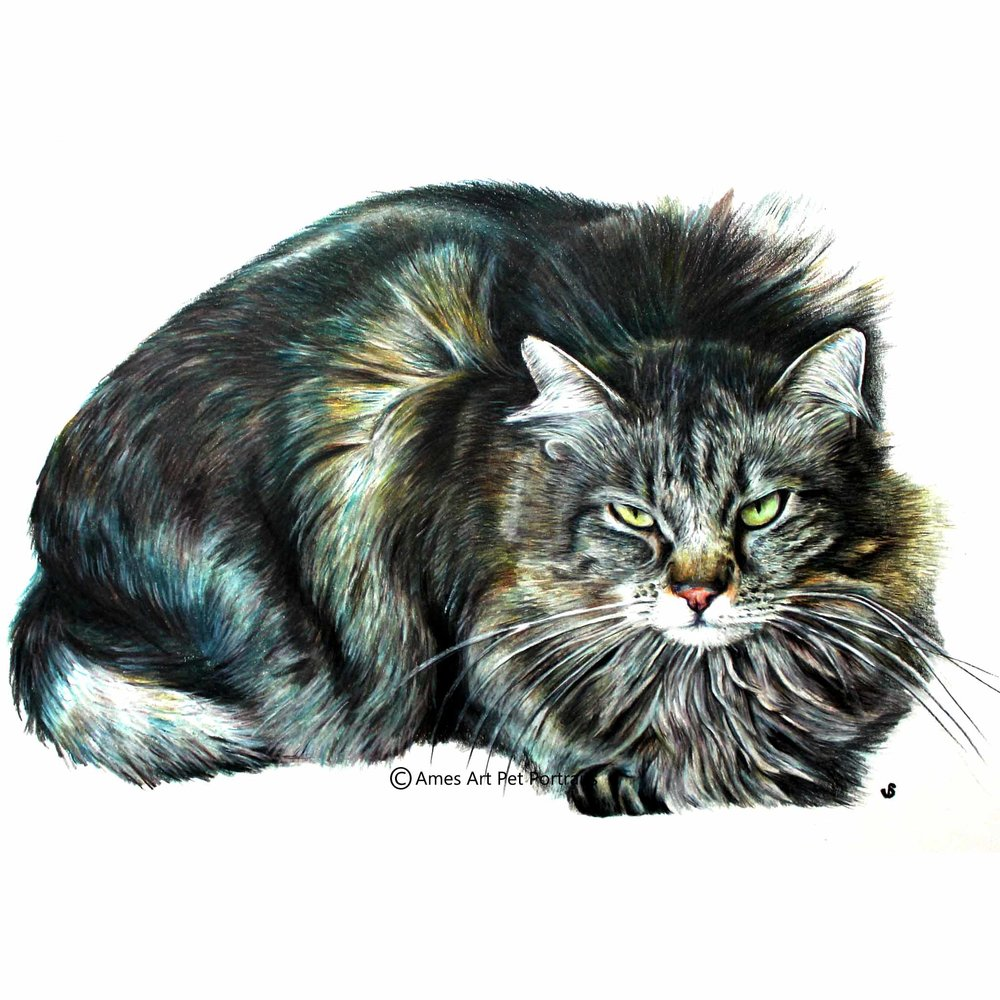 color pencil cat portrait of maine coon cat by sema martin in utah usa