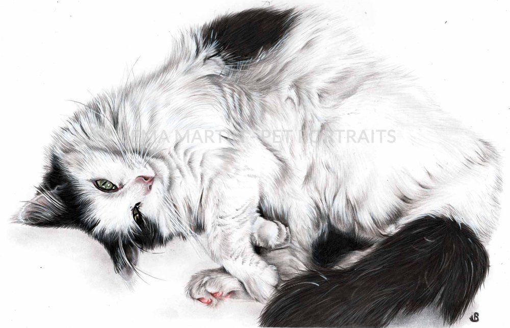 colour pencil portrait of black and white cat from new zealand