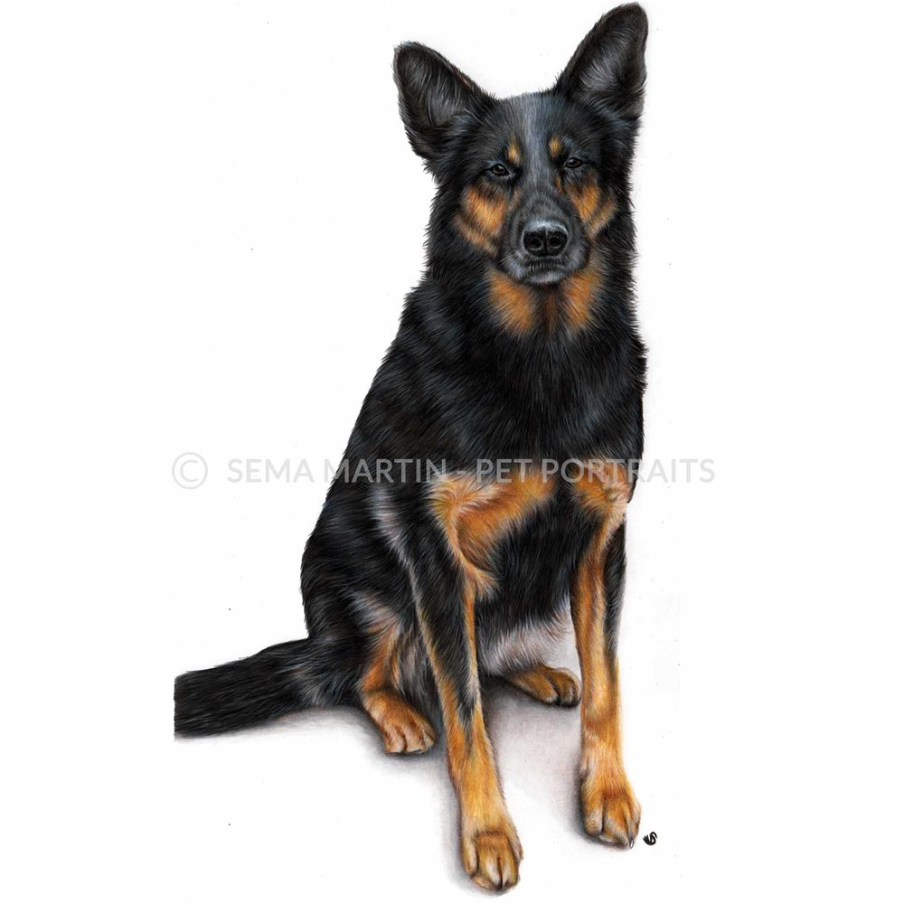colour pencil portrait of german shephard dog from new zealand.