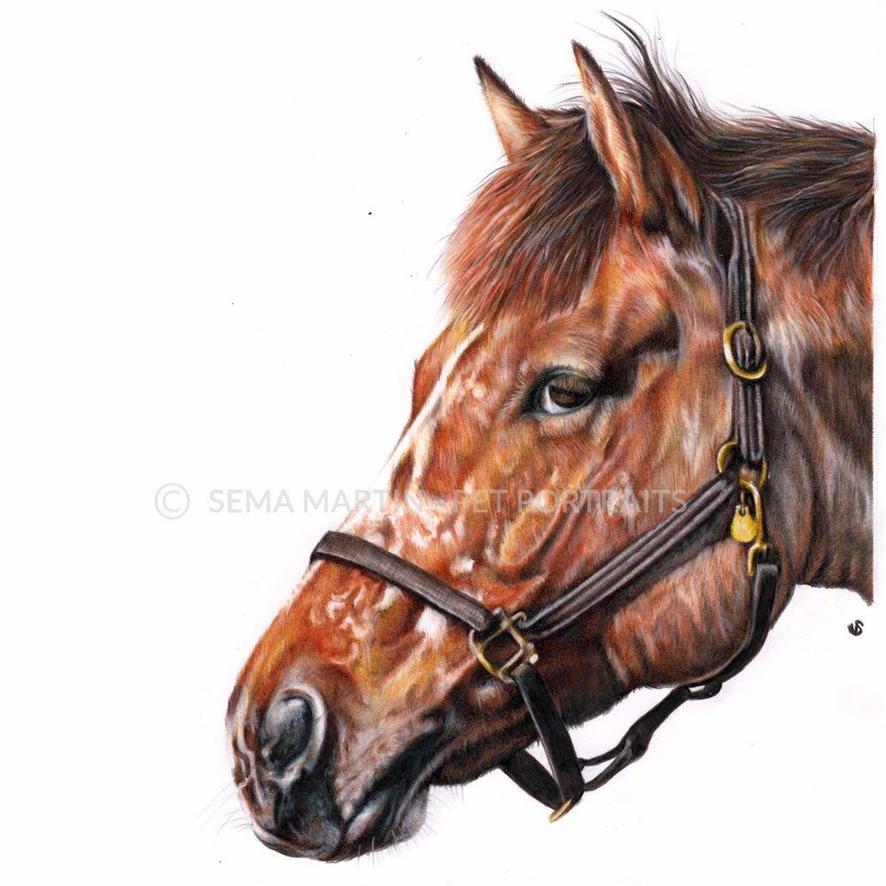 'Snuffy' - USA, 8.3 x 11.7 inches, 2018, color pencil equestrian portrait